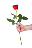 Red rose flower in hand men isolated with clipping path Royalty Free Stock Photography