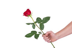 Red rose flower in hand men isolated with clipping path Royalty Free Stock Photos