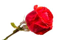 Red rose flower head isolated on white background. Red rose flower head isolated on white background Stock Photos