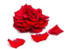 Red rose flower head isolated on white background . Red rose flower head isolated on white background cutout Royalty Free Stock Image