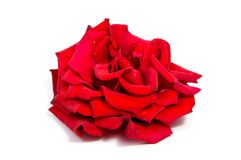 Red rose flower head isolated on white background . Red rose flower head isolated on white background cutout Royalty Free Stock Images