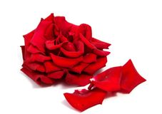 Red rose flower head isolated on white background . Red rose flower head isolated on white background cutout Stock Images