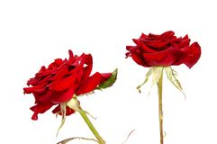 Red rose flower head isolated on white background. Cutout Stock Image