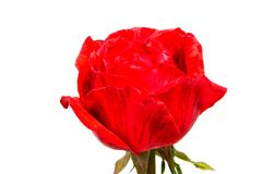 Red rose flower head isolated on white background. Red rose flower head isolated on white background cutout Royalty Free Stock Photo