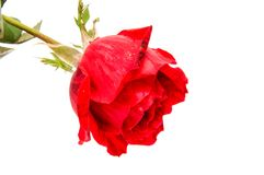 Red rose flower head isolated on white background. Red rose flower head isolated on white background cutout Stock Image