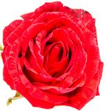 Red rose flower head isolated on white background. Red rose flower head isolated on white background cutout Stock Photo