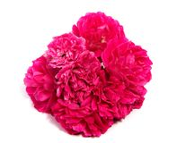 Red rose flower head isolated on white background. Rose flower head isolated on white background cutout Royalty Free Stock Photos