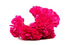Red rose flower head isolated on white background. Rose flower head isolated on white background cutout Stock Images