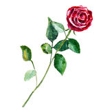 The red rose flower isolated on white background, watercolor illustration Royalty Free Stock Images