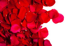 Red Rose flower  leaves isolated on white   background.  Valenti Royalty Free Stock Photography
