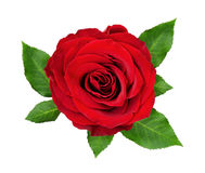 Red rose flower and leaves Royalty Free Stock Photography
