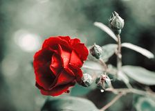 Red Rose. Flower of love stock photography
