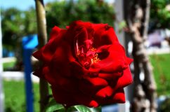 Red rose. Flower of love. Photo taken at the hotel on the Greek island of Rhodes. Beautiful colors of a rose are just an asset to this island stock photos