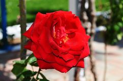 Red rose. Flower of love. Photo taken at the hotel on the Greek island of Rhodes. Beautiful colors of a rose are just an asset to this island royalty free stock photo