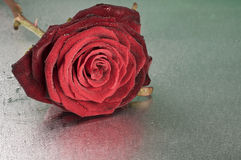 Red rose flower lying on wet surface Royalty Free Stock Photography