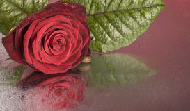 Red rose flower lying on wet surface Royalty Free Stock Images