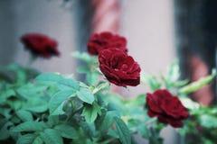 Red Rose flower Stock Photo