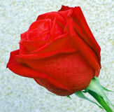 Red rose flower. Royalty Free Stock Photography