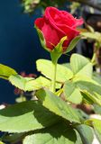 Red, Rose, Flower, natural. A bright red rose Stock Photography