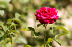 Red rose flower in a park Royalty Free Stock Photography