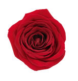 Red Rose Flower Royalty Free Stock Photos