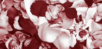 Red rose flower petals background royalty free stock images