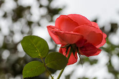Red rose flower Royalty Free Stock Photography