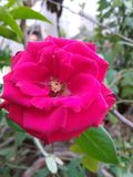 Red rose flower and plant Royalty Free Stock Image