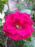Red rose flower and plant Royalty Free Stock Photos