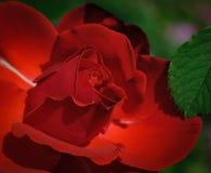 Red, Rose, Flower, Rose Family Stock Images
