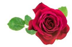 Red Rose Flower. Rose flower on white background stock images