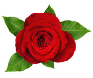 Red rose flower rosette with leaves Royalty Free Stock Photo