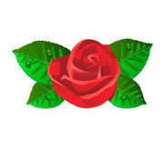 Red rose flower with shiny green leaves Stock Photo