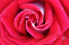 Red Rose Flower Such As Background Royalty Free Stock Photos