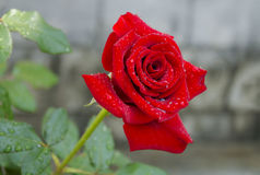 Red rose flower Stock Photos