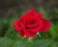 Red rose flower Stock Image