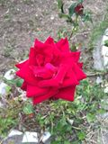 Red rose flower!!. Symbol of love and passion Stock Photo
