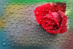 Red rose flower with transparent water drops background.vector illustration. Stock Image