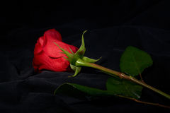 Red rose flower under spot light Royalty Free Stock Photos