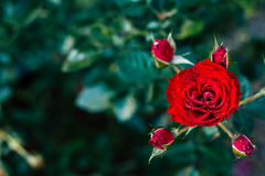 Red rose flower, valentines day love. Royalty Free Stock Images