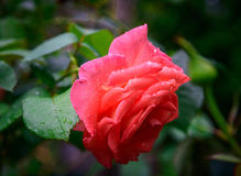 Red rose flower with water drops Stock Photography