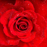 Red Rose. Flower with water drops Royalty Free Stock Photo