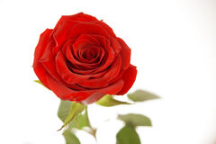 Red rose flower. In white background Royalty Free Stock Photos