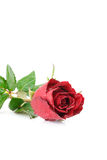Red rose flower on white background Royalty Free Stock Photography