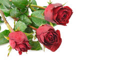 Red rose flower on white background Royalty Free Stock Photo