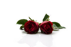 Red rose flower on white background Royalty Free Stock Photos