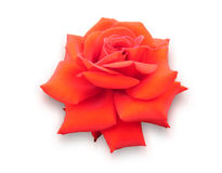 Red rose flower on a white background. Stock Photography