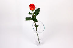 Red rose flower on the white background Royalty Free Stock Photo