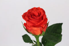 Red rose flower on the white background Stock Images