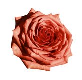 Red rose flower  white isolated background with clipping path.  Closeup no shadows. Nature Royalty Free Stock Photography